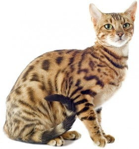 Bengal sitting cat 450x481